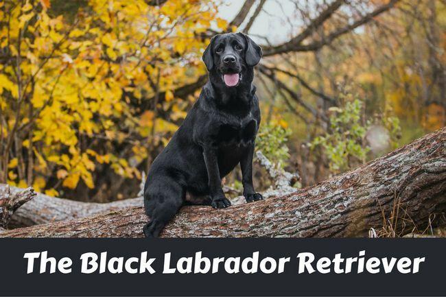 Labrador retriever negro sentado en la rama de un árbol grande que mira la cámara