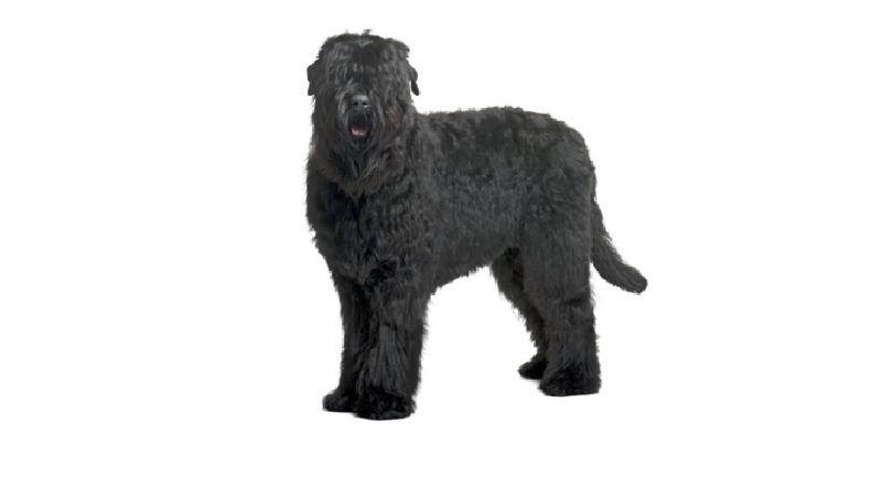 Raza de perro negro de Terrier del ruso