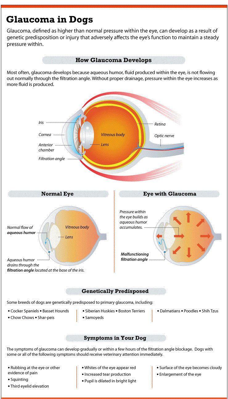 El glaucoma en perros de infografГa