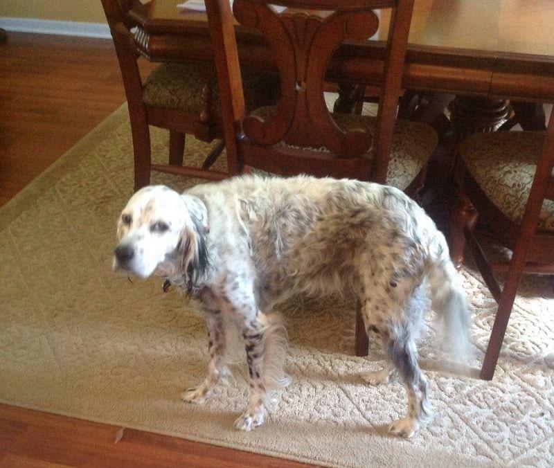 Perro perdido peso