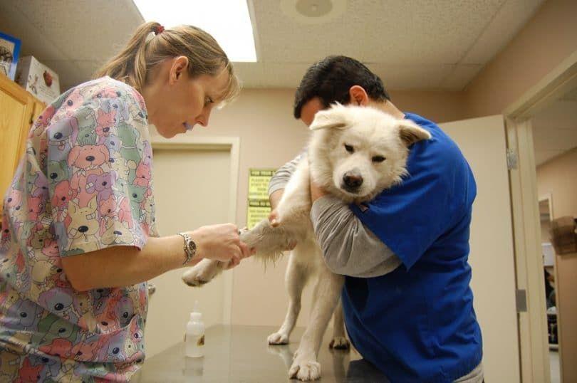 Perro en la prueba de sangre
