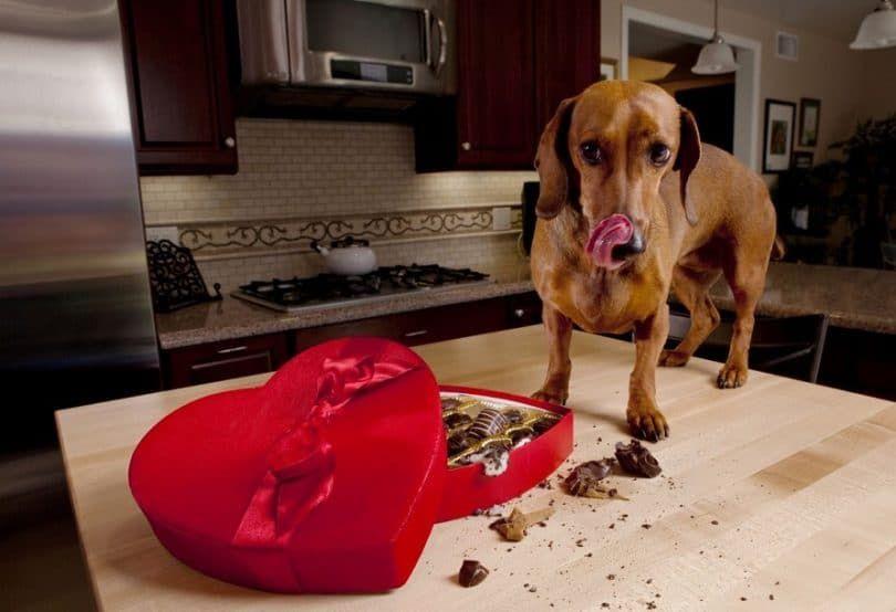 Chocolate-envenenamiento-en-perros