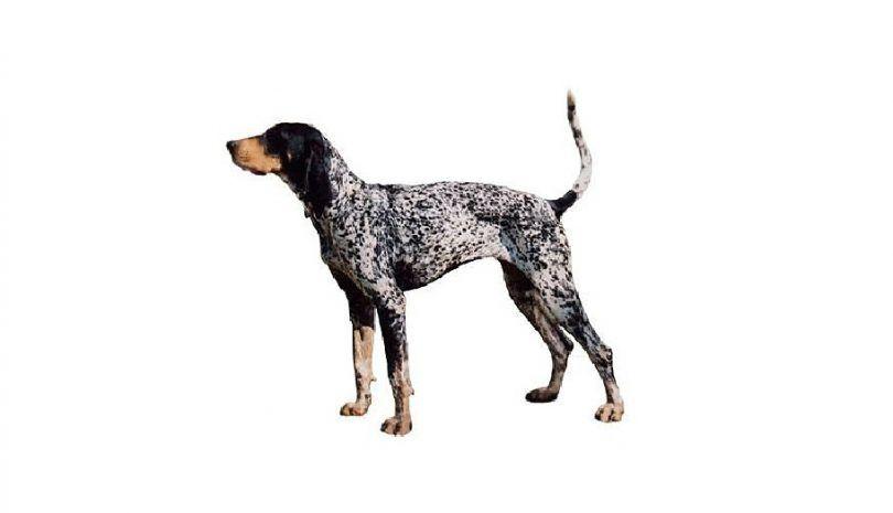 perro Coonhound