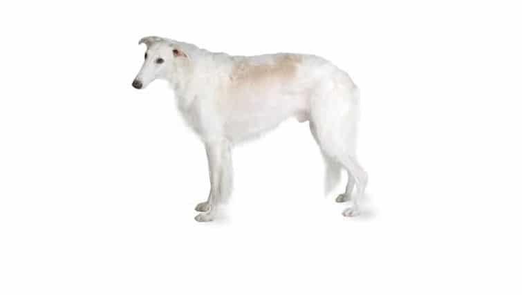 la raza del perro del Borzoi