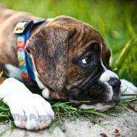 Boxer pupReilly le gusta soñar