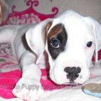 Boxer cachorro Thor verse bien en rosa!