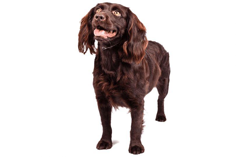 raza de perro de aguas de Boykin