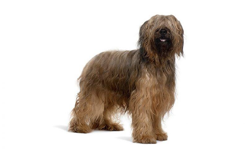 la raza del perro de Briard