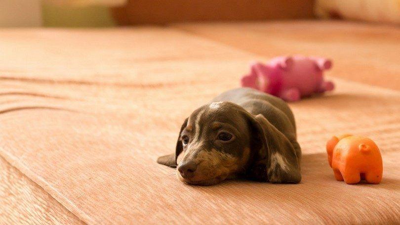 El perrito del Dachshund en la cama