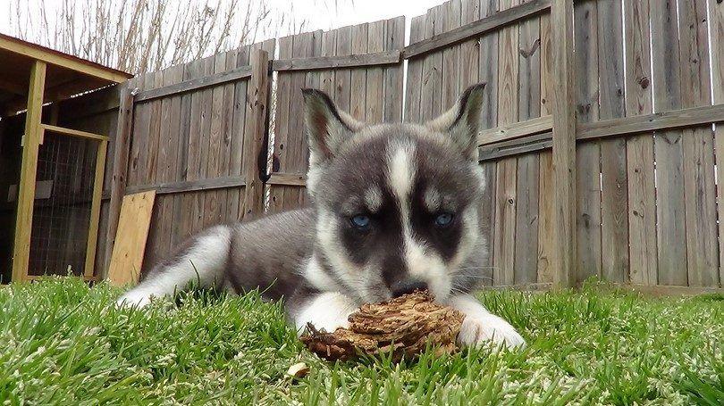 Husky jugando joven