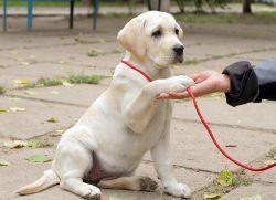 Un perrito amarillo del laboratorio está capacitado para dar su pata