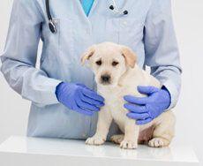 Un cachorro labrador que es sostenida por un veterinario en azul