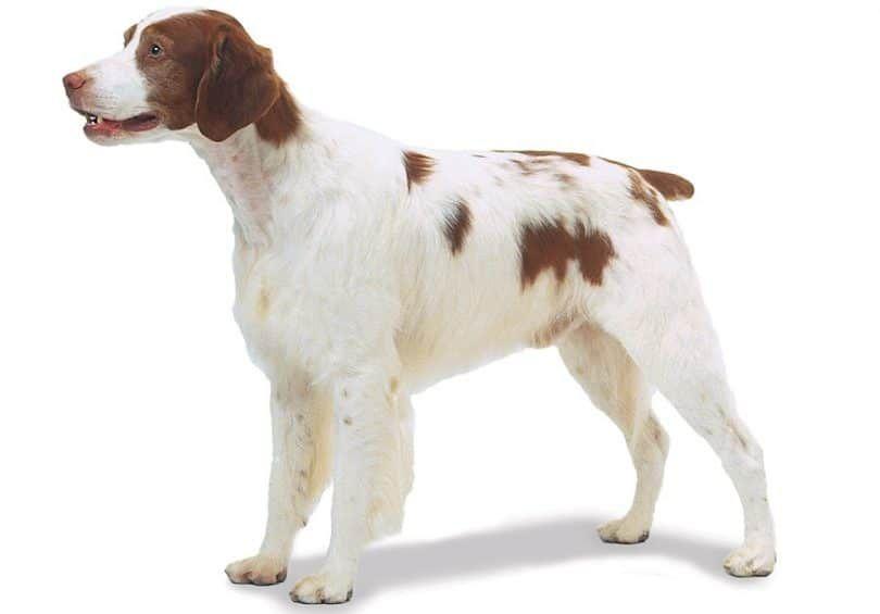 la raza del perro de Bretaña