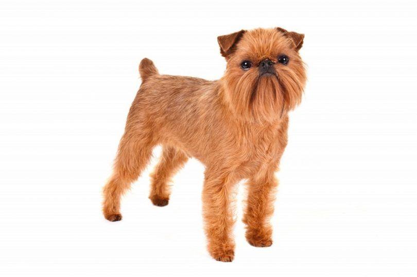 perro de raza Griffon de Bruselas