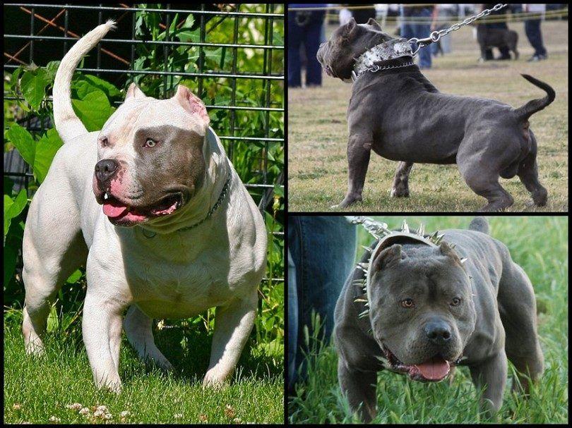 Bully razas de perros: perros cariñosos con reputaciones desleales