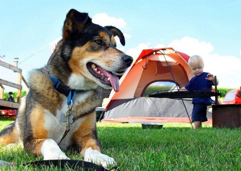 Perro ido de camping