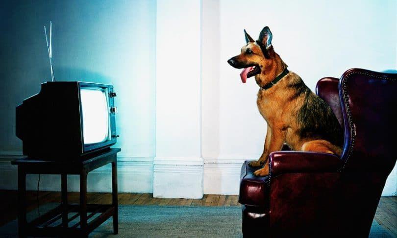 Perro ver la televisión