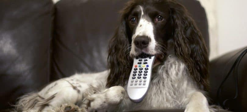 Perro que ve la TV