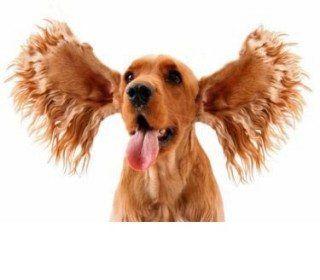 ¿Puedo limpiar los oídos de mi perro?