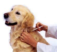 ¿Puedo darle a mi perro una vacuna en casa?