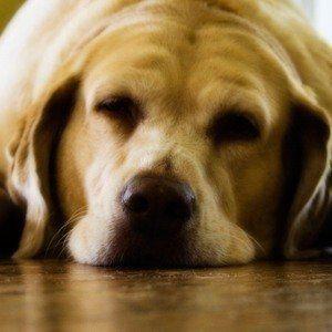 ¿Puedo darle a mi perro pastillas para dormir?
