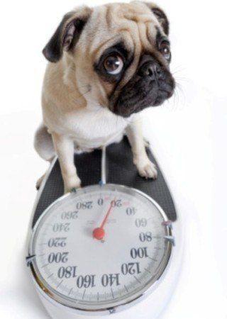 ¿Puedo poner mi perro en una dieta?