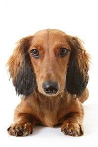 Cancro en los síntomas de perros, causas y cómo deshacerse de él