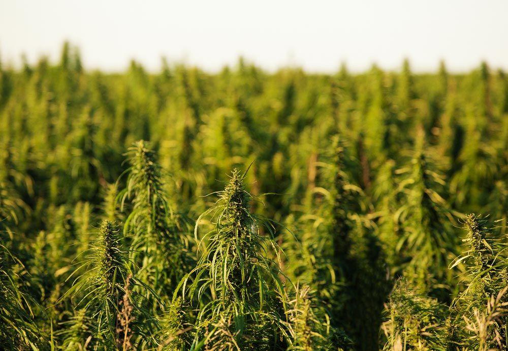 Negocios y consumo de cannabis en la industria de los Estados Unidos para mascotas