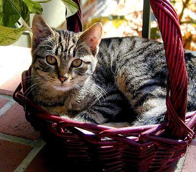 La anemia del gato