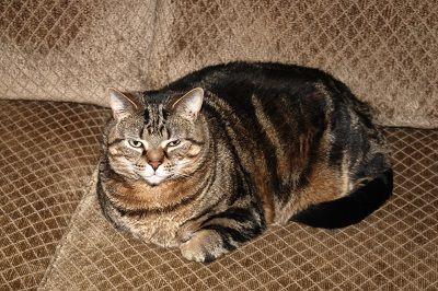 Asma gato