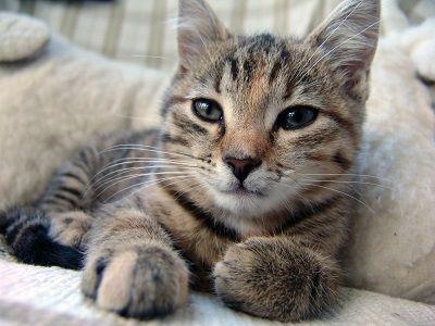 Los ácaros del oído de gato