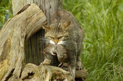 Gato matar a sus presas