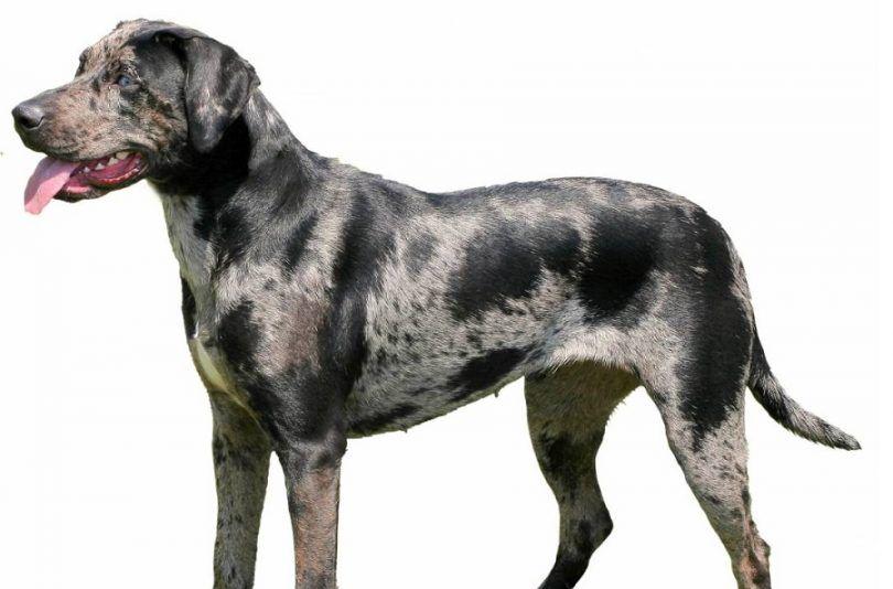 Los perros del leopardo de Catahoula