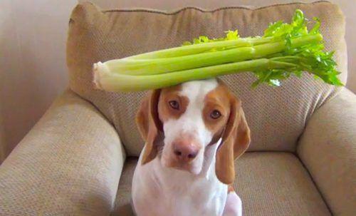 Apio para los perros. Es el apio bueno para los perros? ¿Es seguro?
