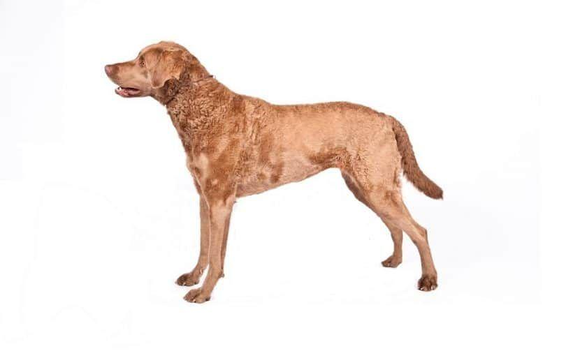 raza de perro perdiguero de bahía de Chesapeake