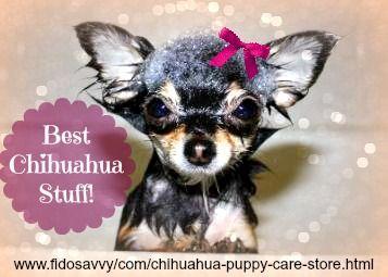 Tienda de chihuahua cuidado del perrito