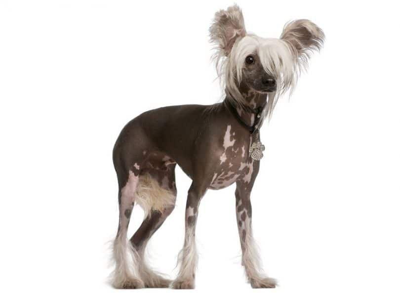 China raza de perro con cresta