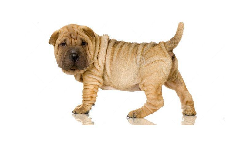 Perro chino de Shar Pei