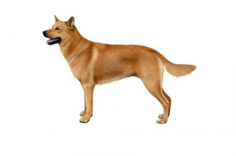 perro de Chinook