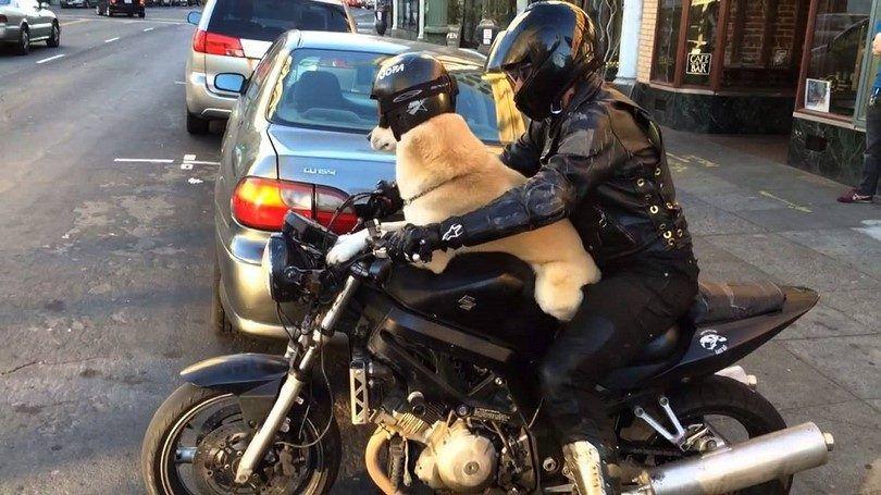 Perro con un casco en la motocicleta