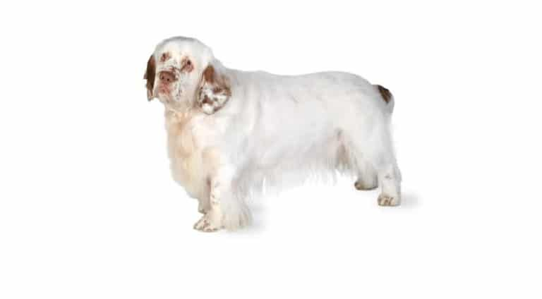perro de aguas de Clumber