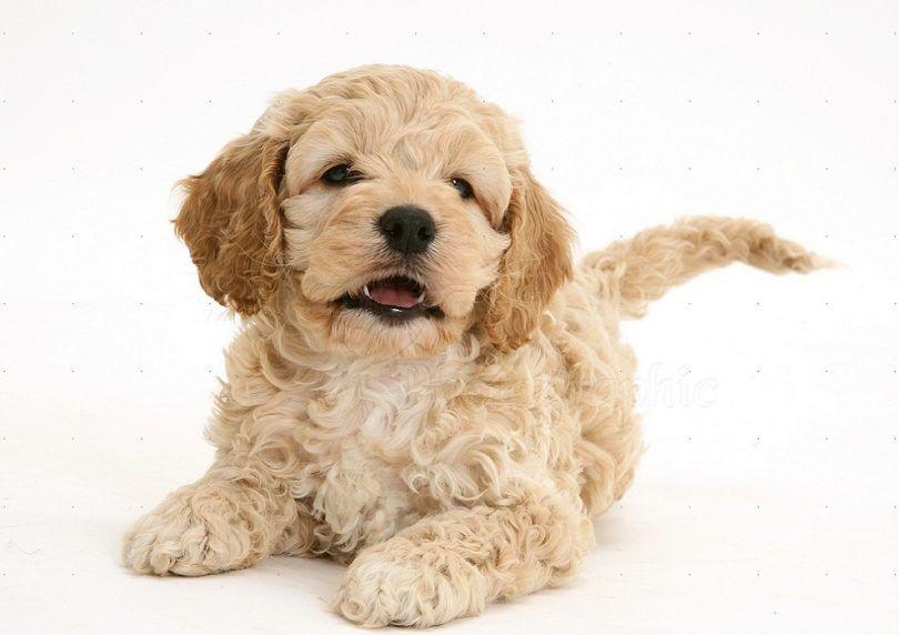 perro de Cockapoo