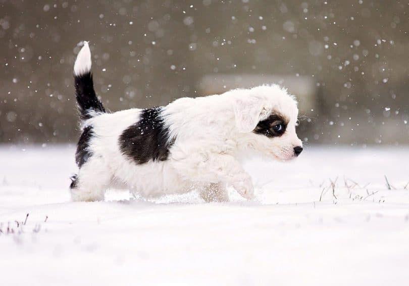 cachorro de la nieve