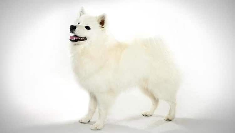 americana del perro esquimal