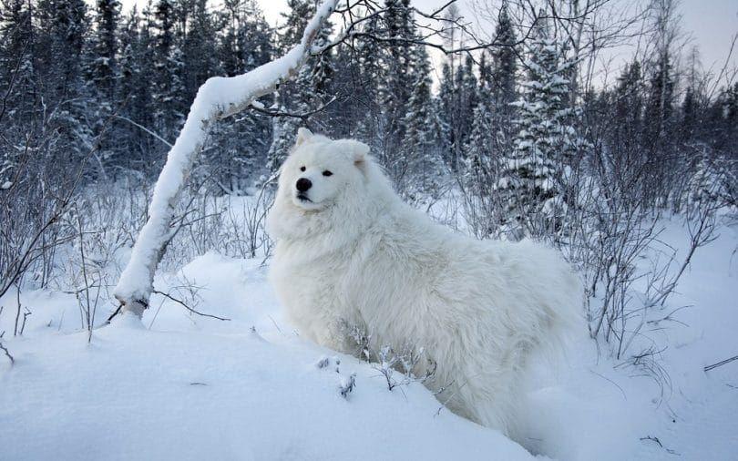 Samoyedo en la nieve