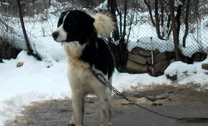 Karakachan perro del oso