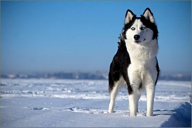 Husky siberiano en la nieve