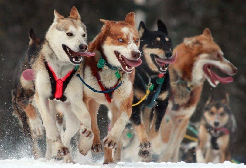 perros de clima frío