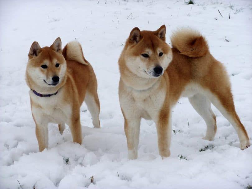 perros de Shiba Inu