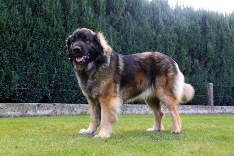 la raza del perro de Leonberger